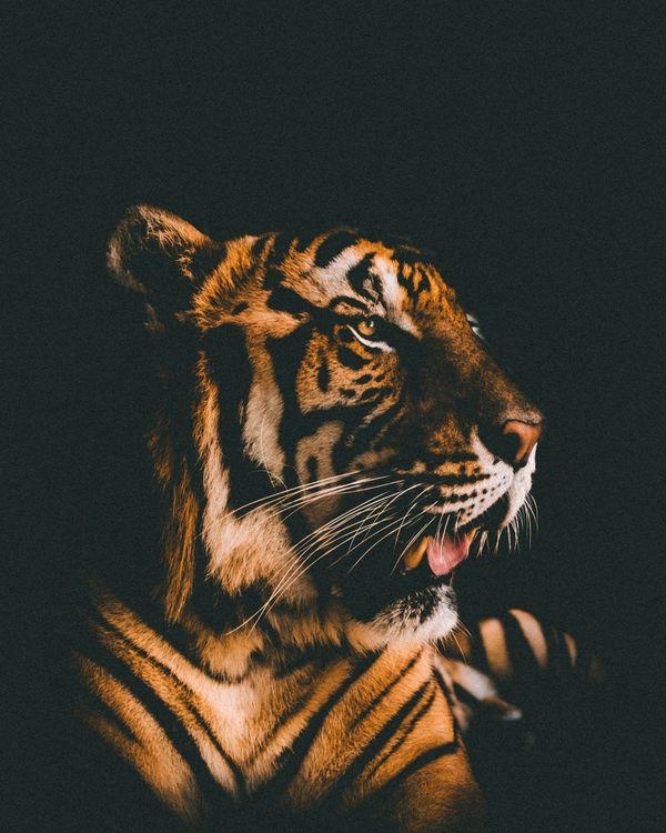 обои на телефон тигр 6