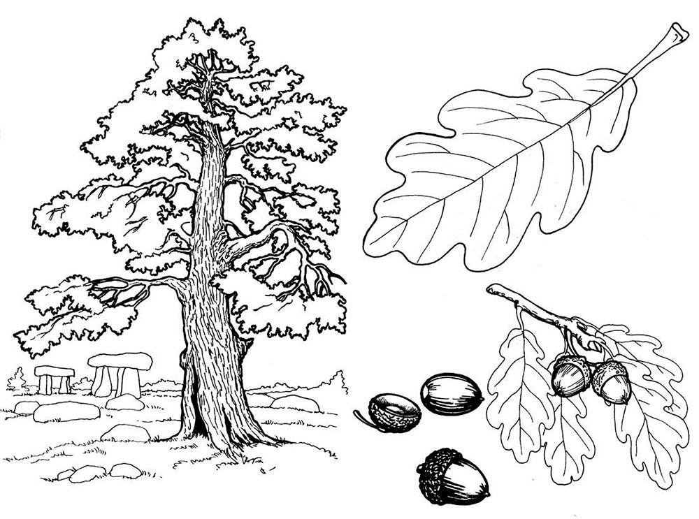 Раскраска дуб 10
