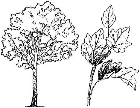 Раскраска осина