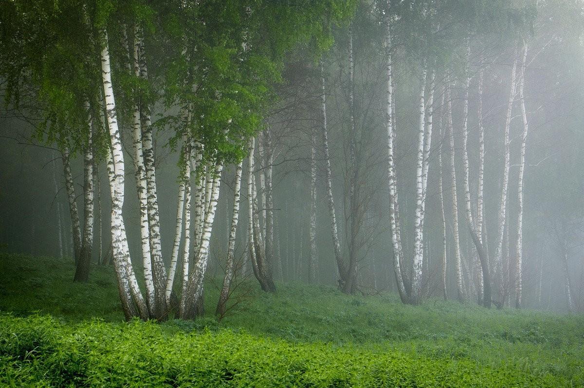 берёзовый лес фото