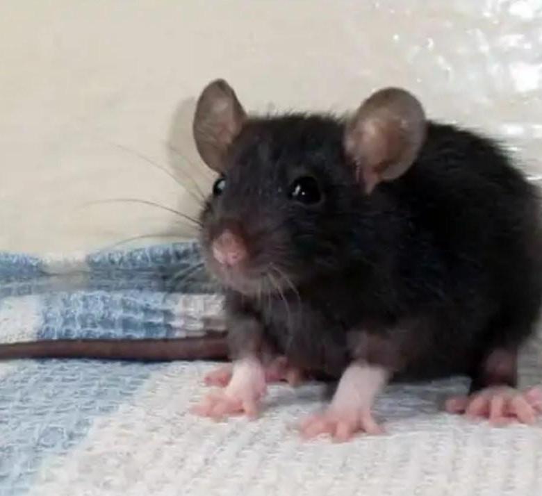 чёрная крыса 6