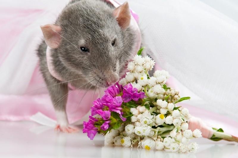крыса фото 56