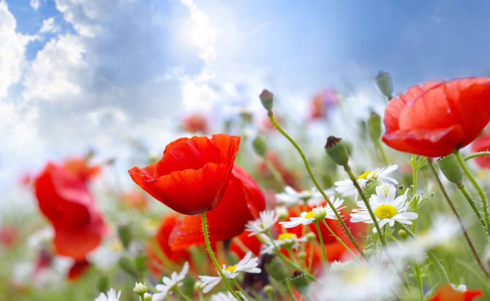 тюльпаны и ромашки фото