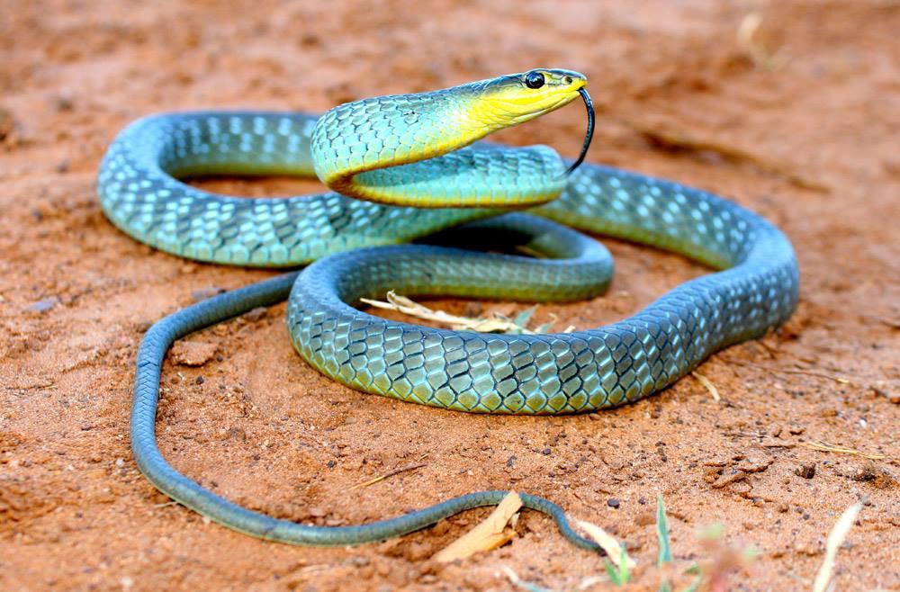 австралийский тайпан фото