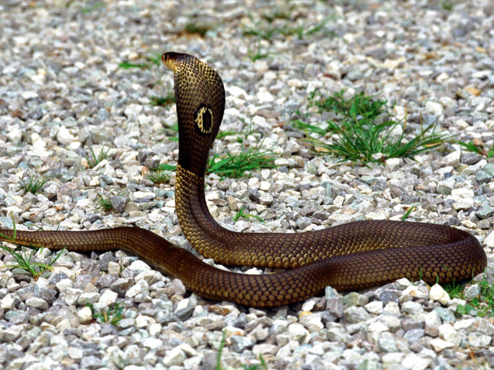 очковая кобра фото