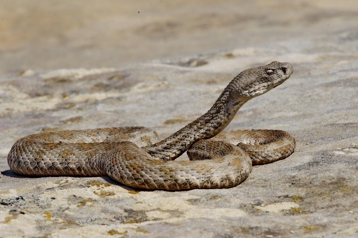 Змея гюрза