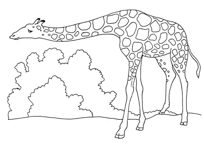 Раскраска жираф 18