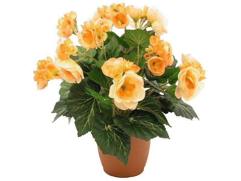 Комнатные цветы бегония 2