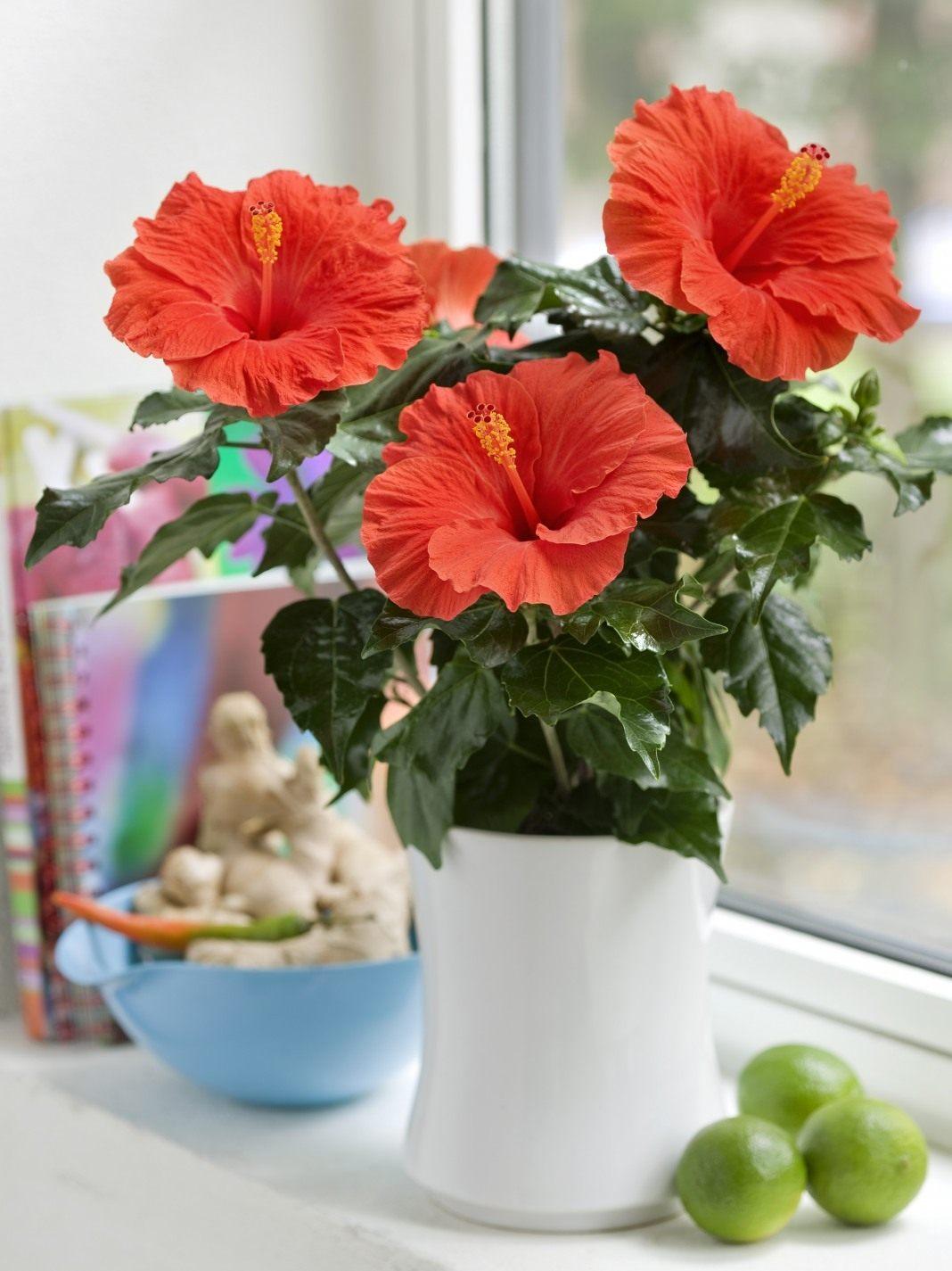 Комнатные цветы гибискус