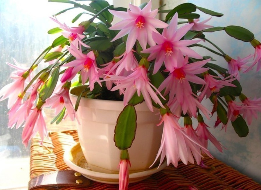 кактус декабрист фото