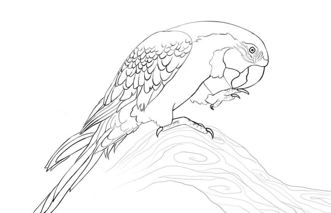 раскраска попугай Ара 3