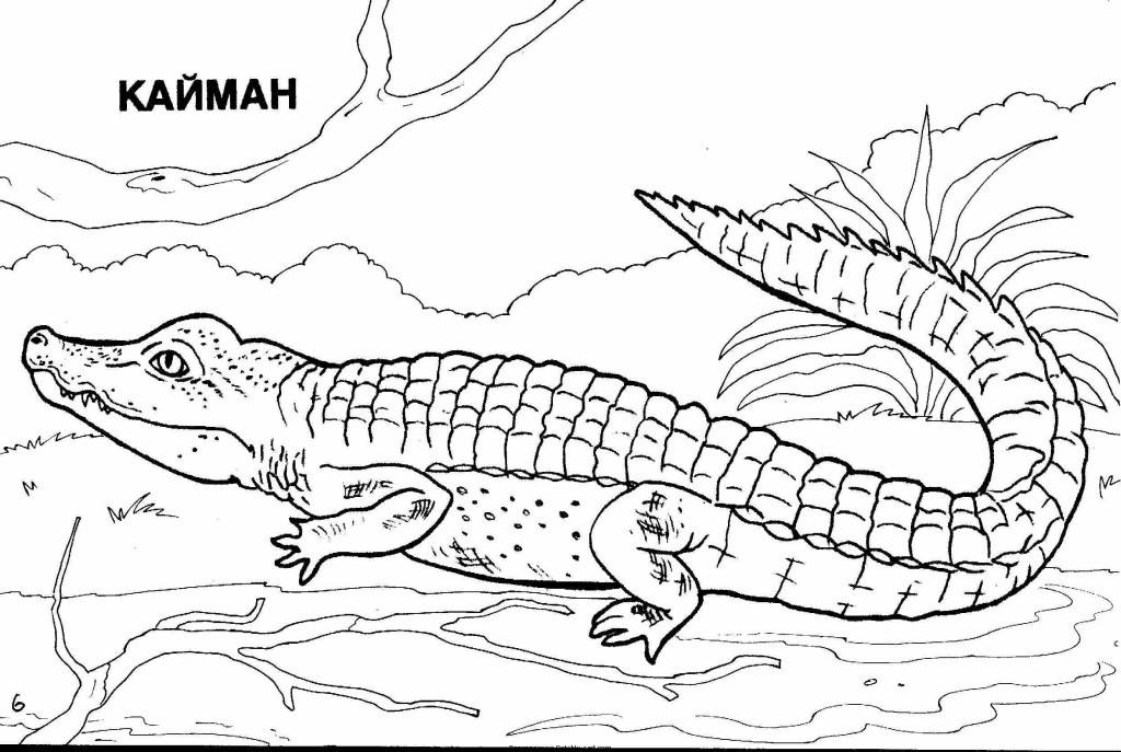 крокодил кайман