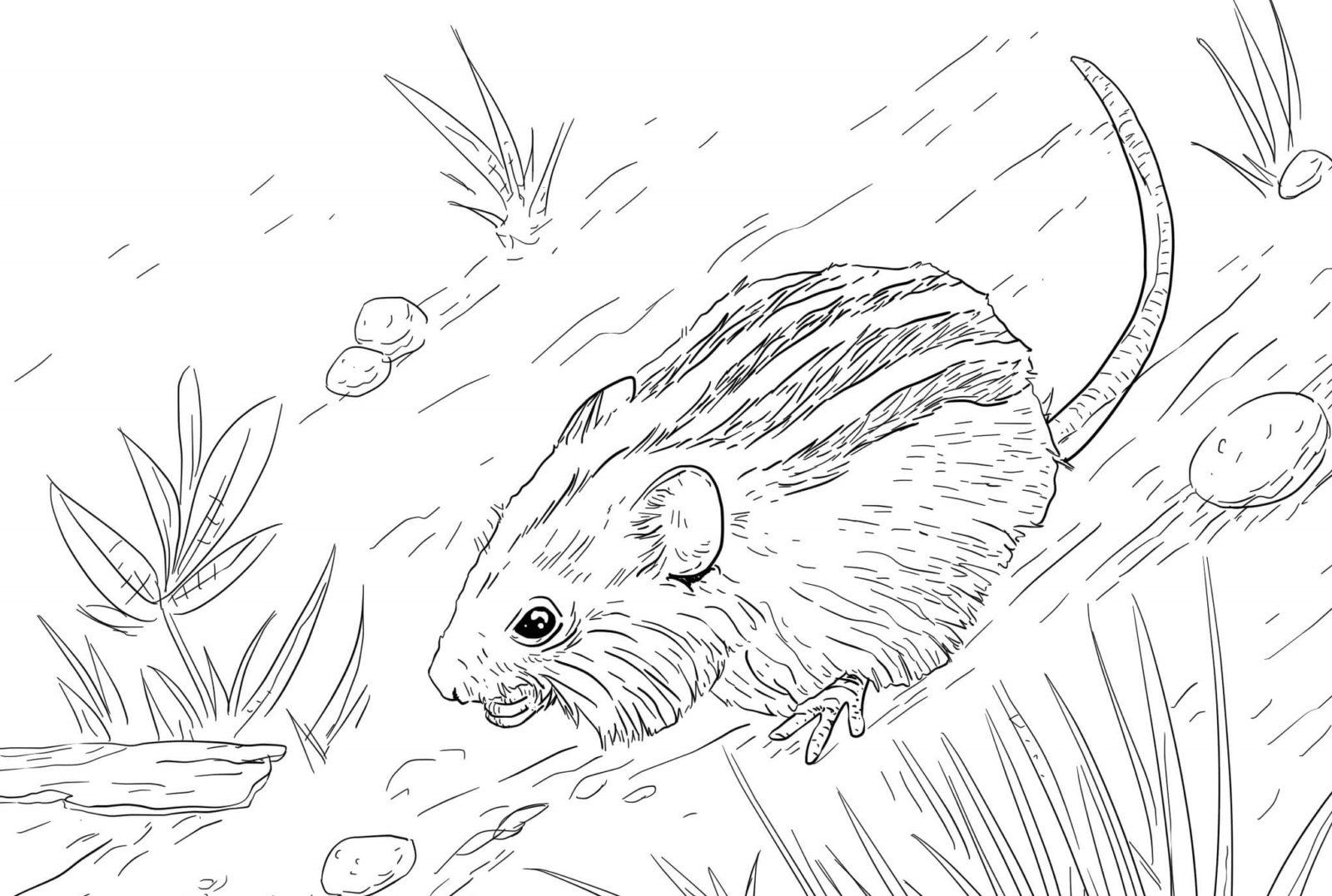 раскраска мышь полевая 14