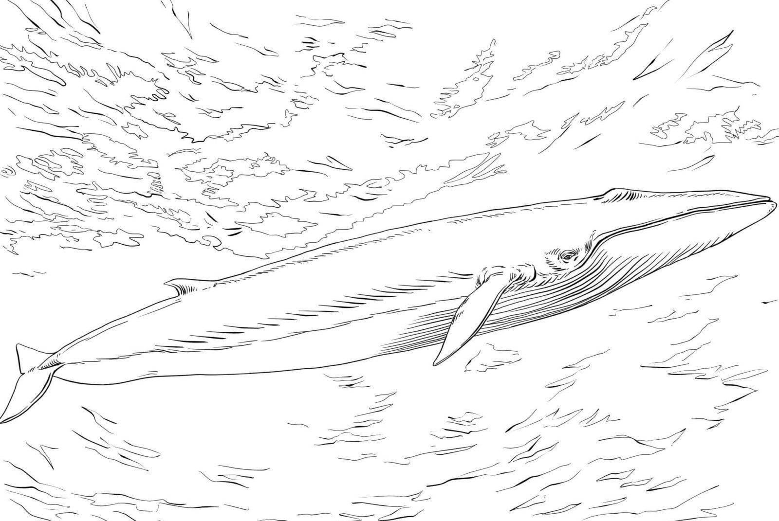 Раскраска кит 16