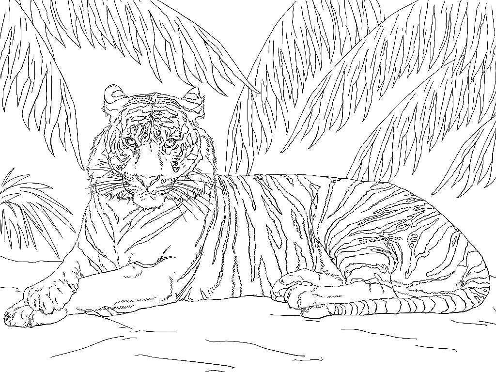 Раскраска тигр 34