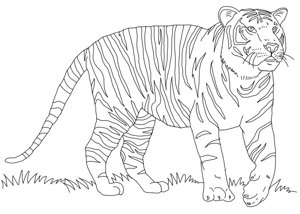 Раскраска тигр 55