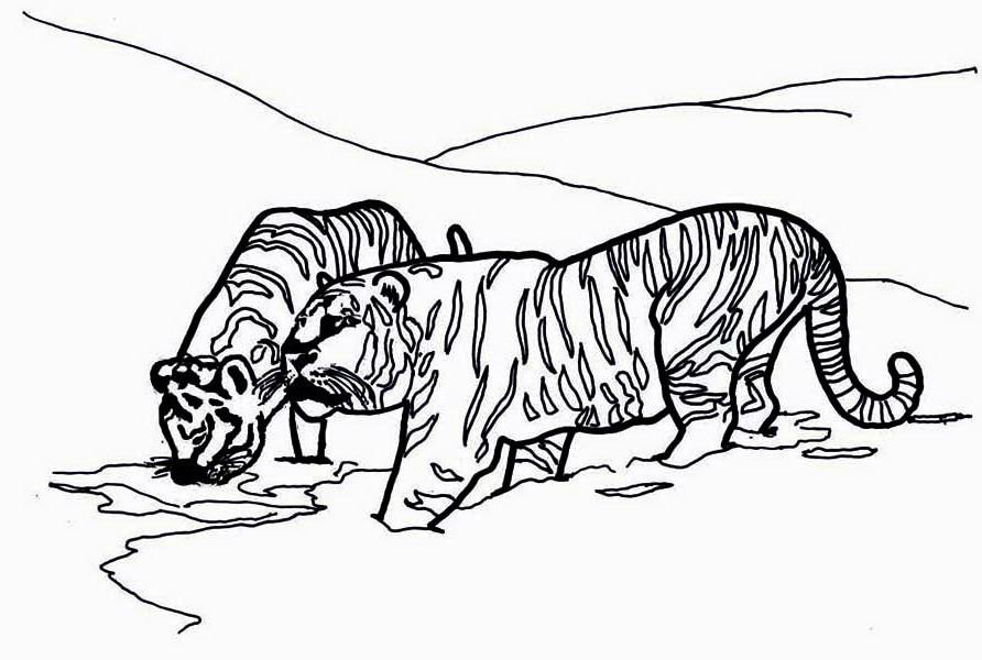 тигры на водопое