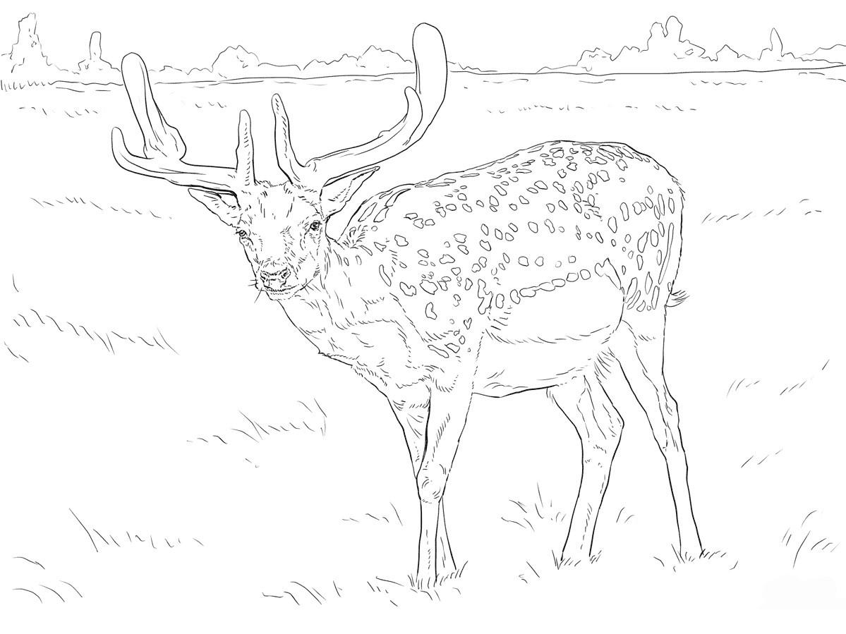 Раскраска олень пятнистый