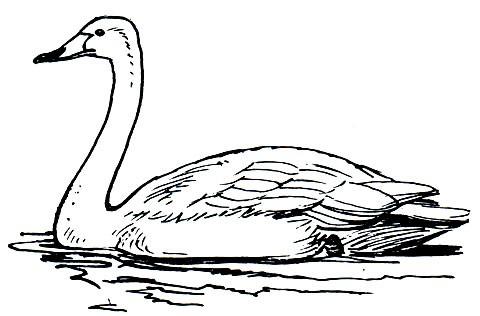 лебедь-кликун фото