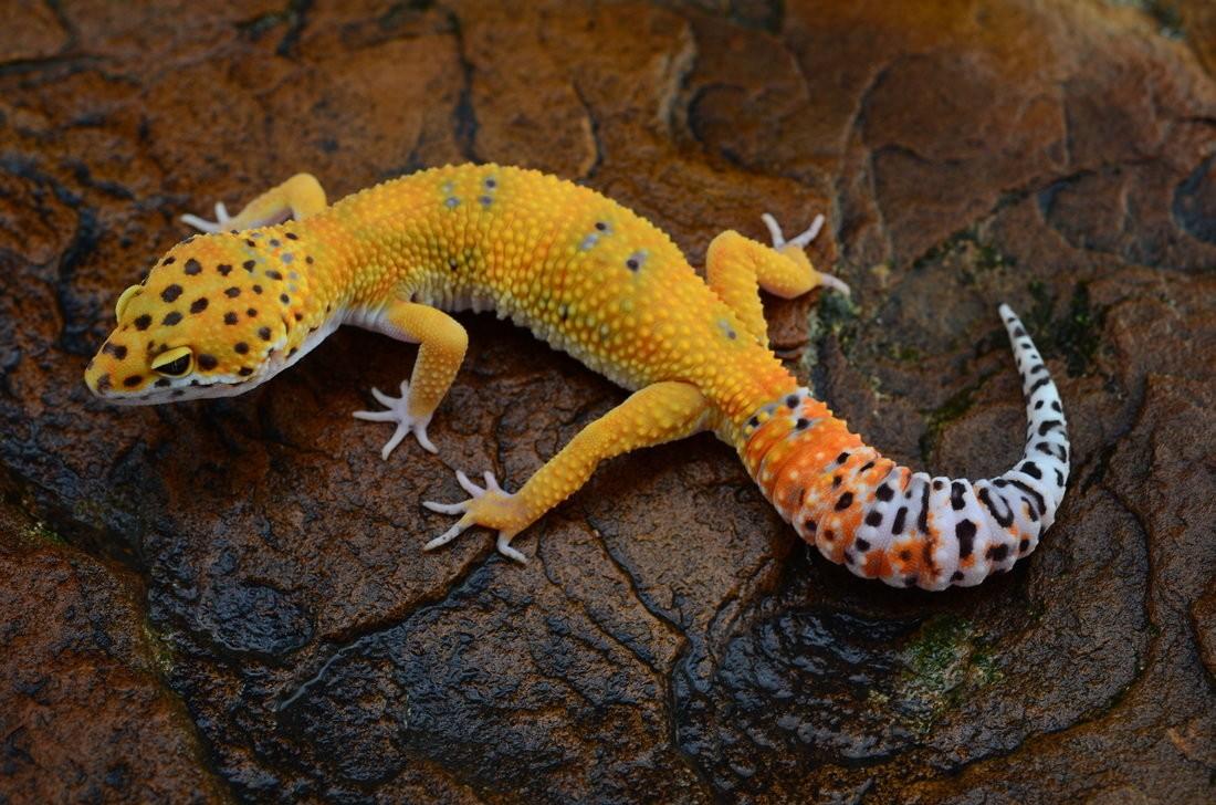 жёлтый леопардовый геккон фото