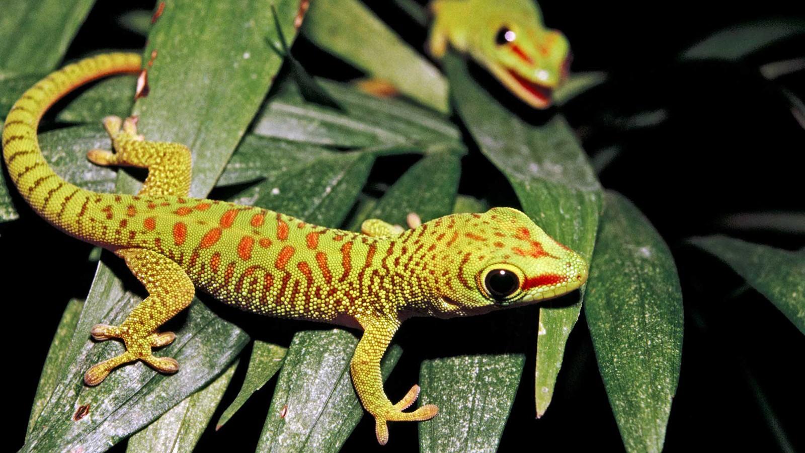 геккон фото 3
