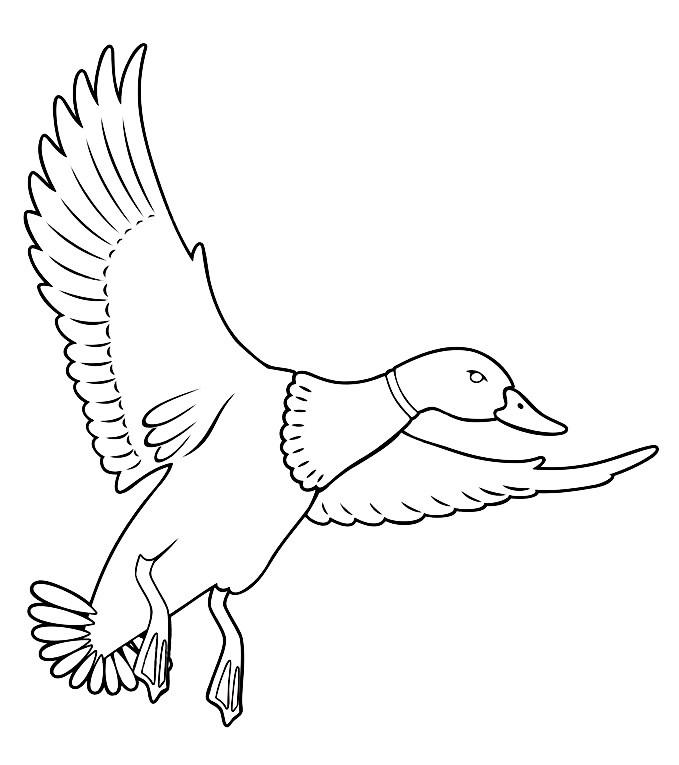 Утка-кряква