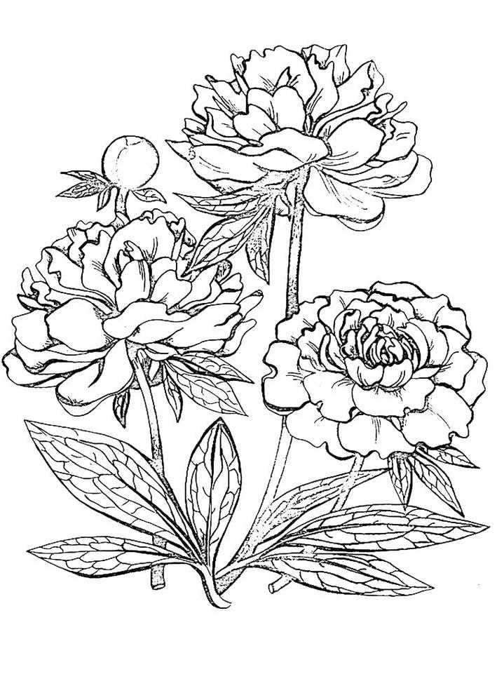 пионы рисунок 42