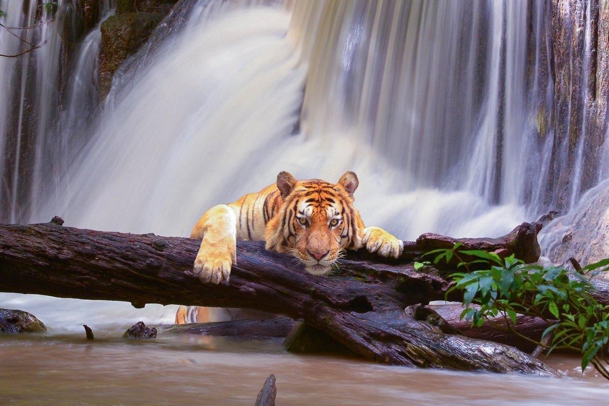 Тигр фото 531