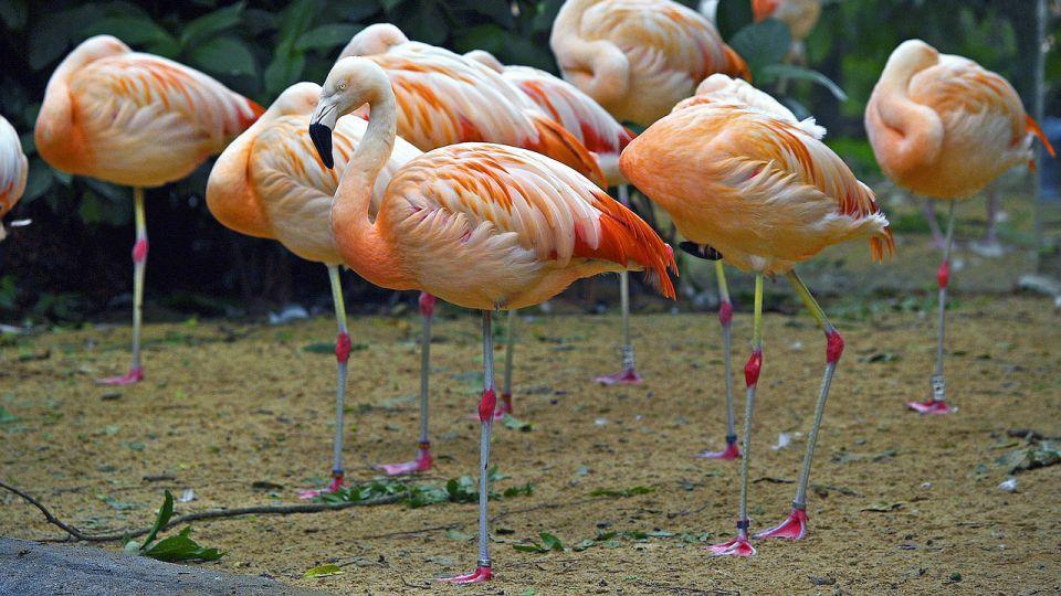 фламинго фото 299