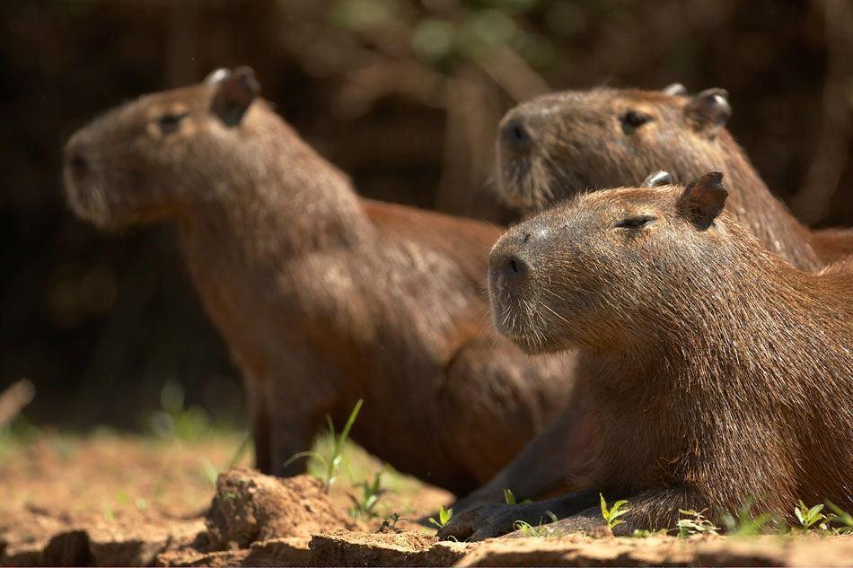 стадные животные Капибары