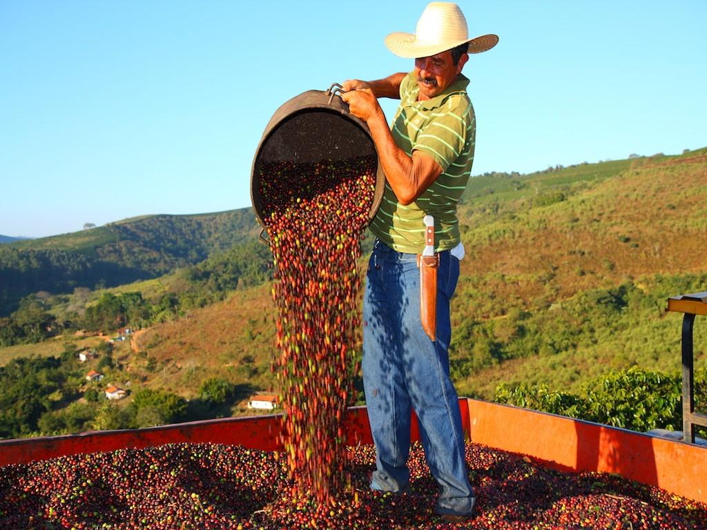 сбор кофе в Бразилии