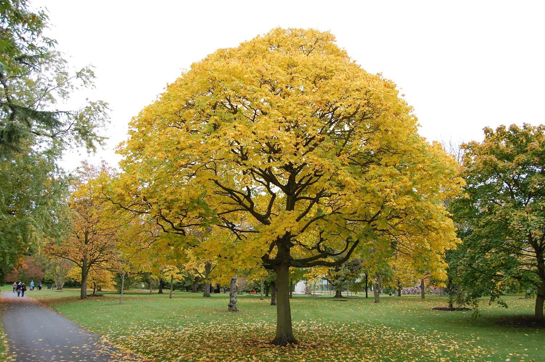 Клён осенью 2