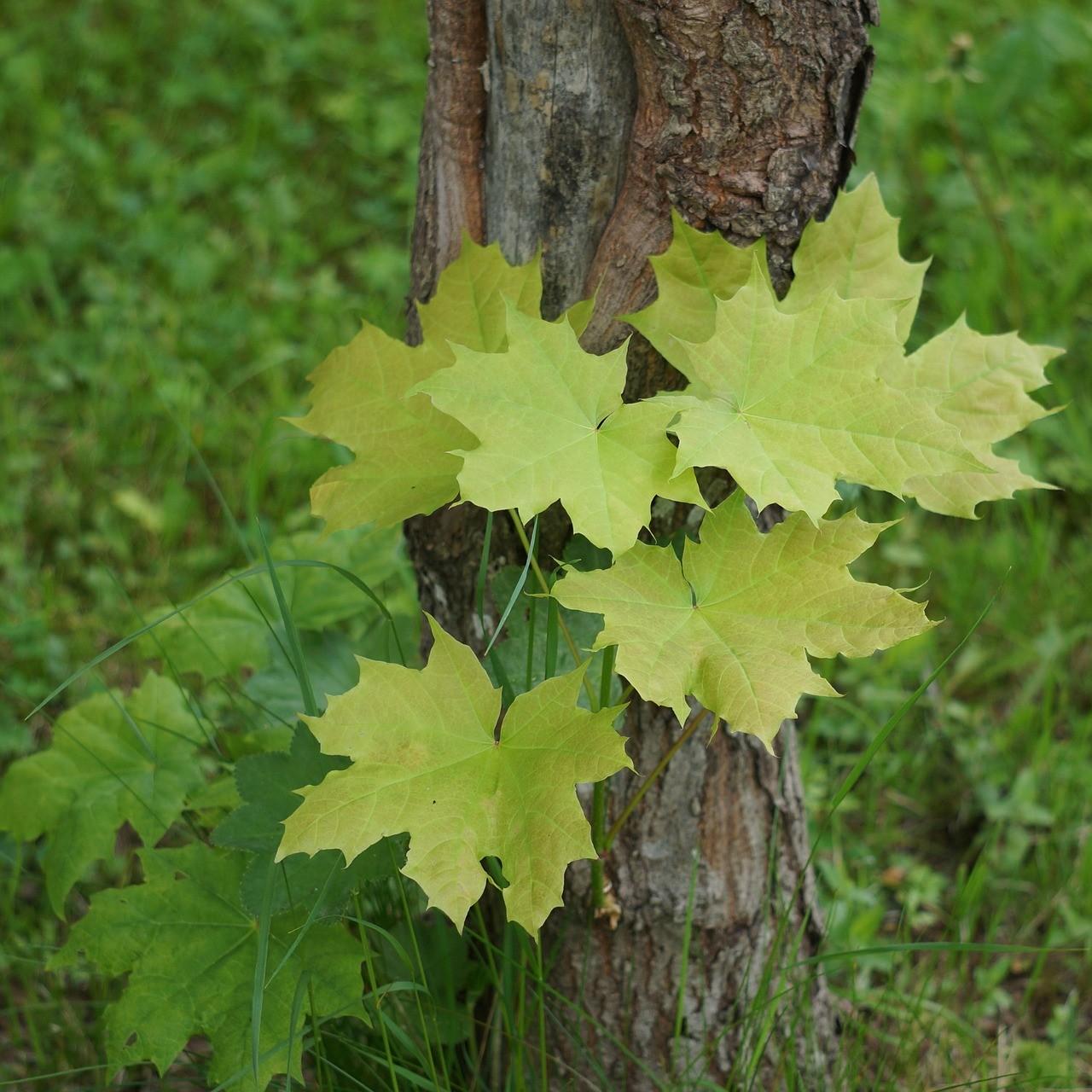 Листья кленовые 11