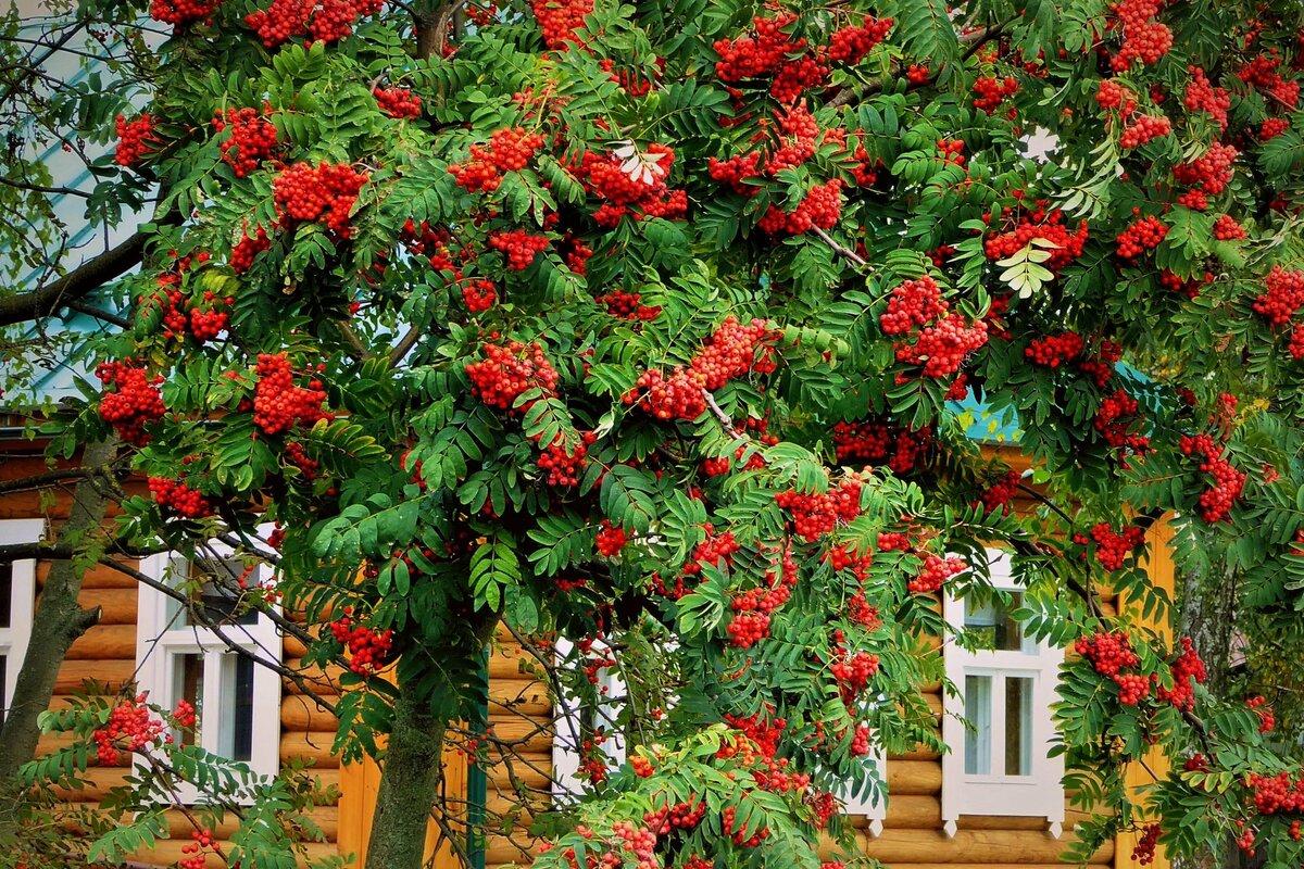 Плодовое дерево рябина