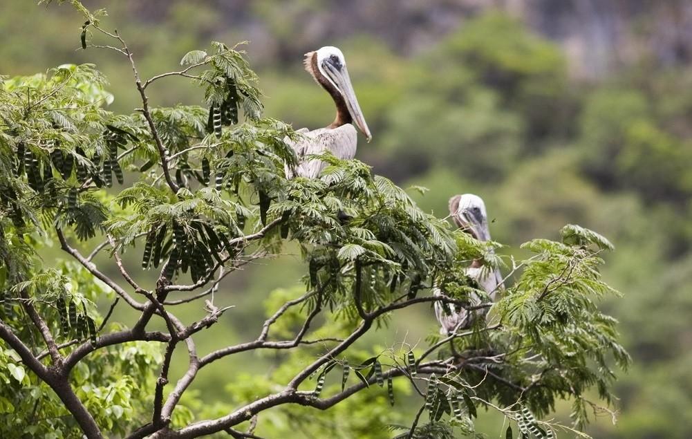 пеликаны 52