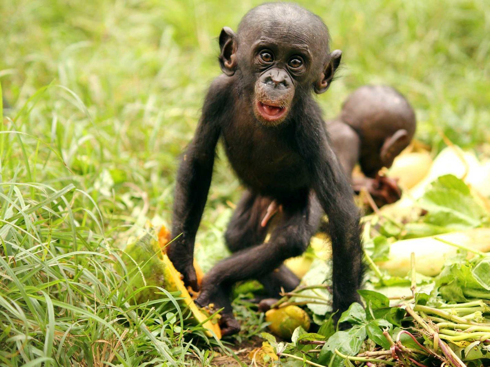 Бонобо фото