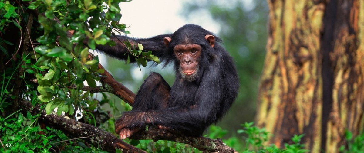 шимпанзе фото 194
