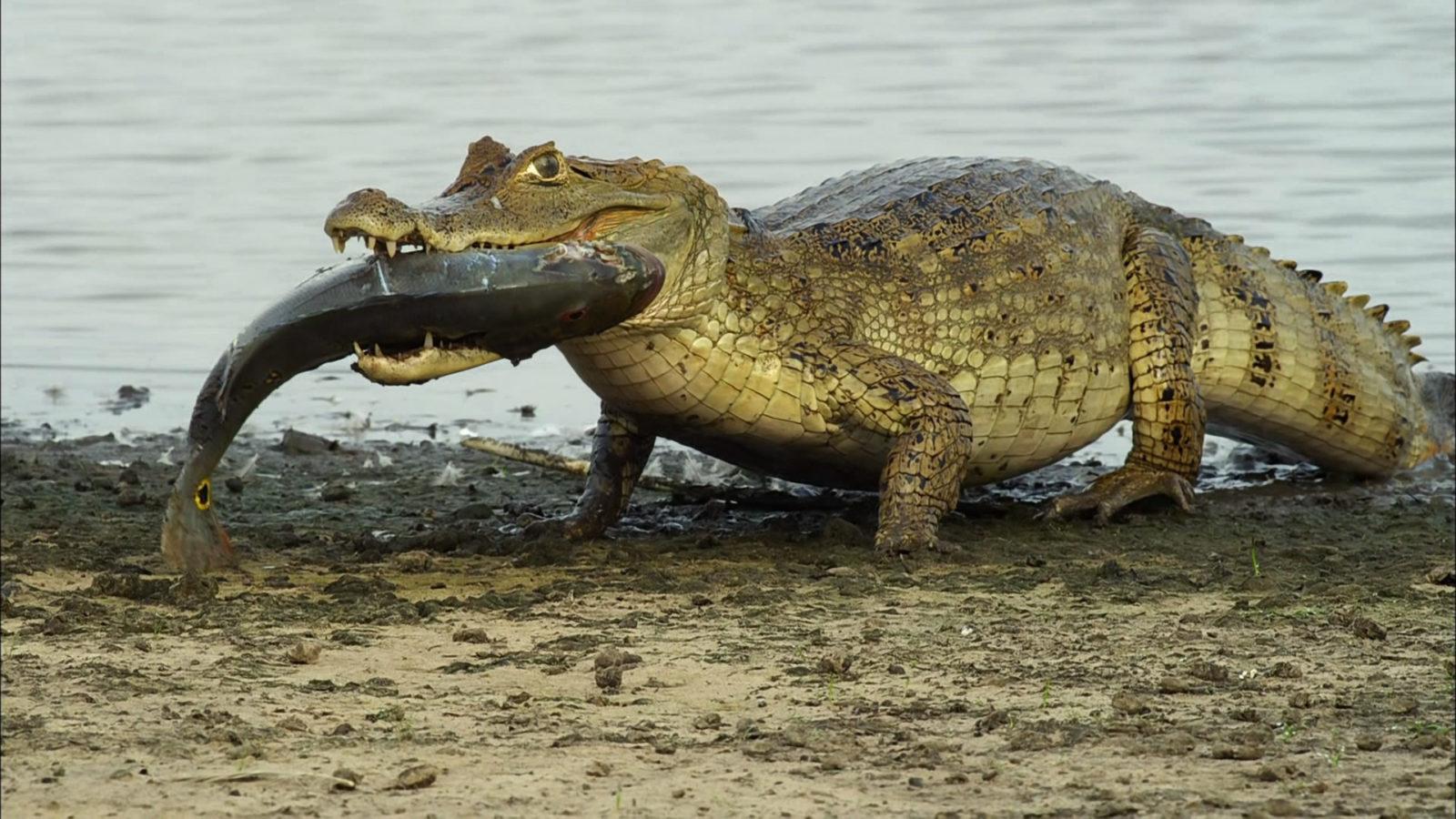 крокодил фото 40