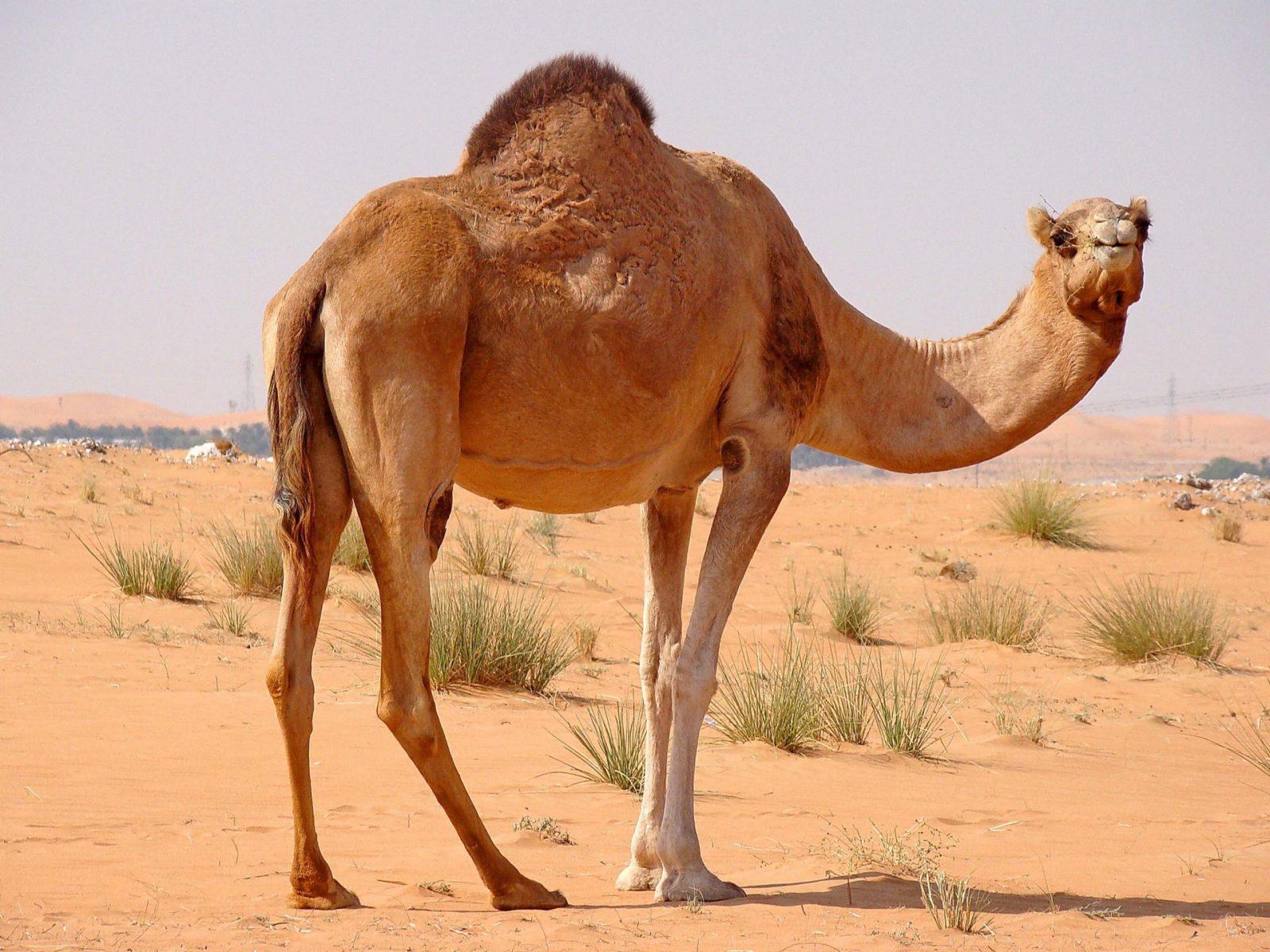 верблюд дромадер