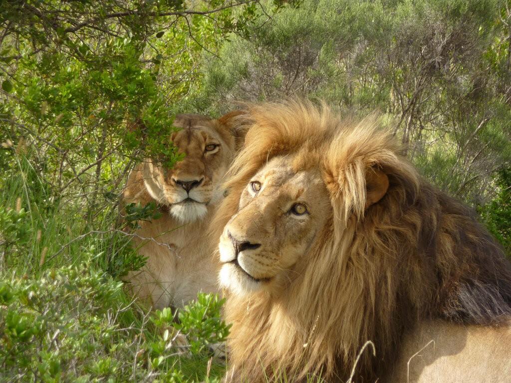 Лев и львица фото 37