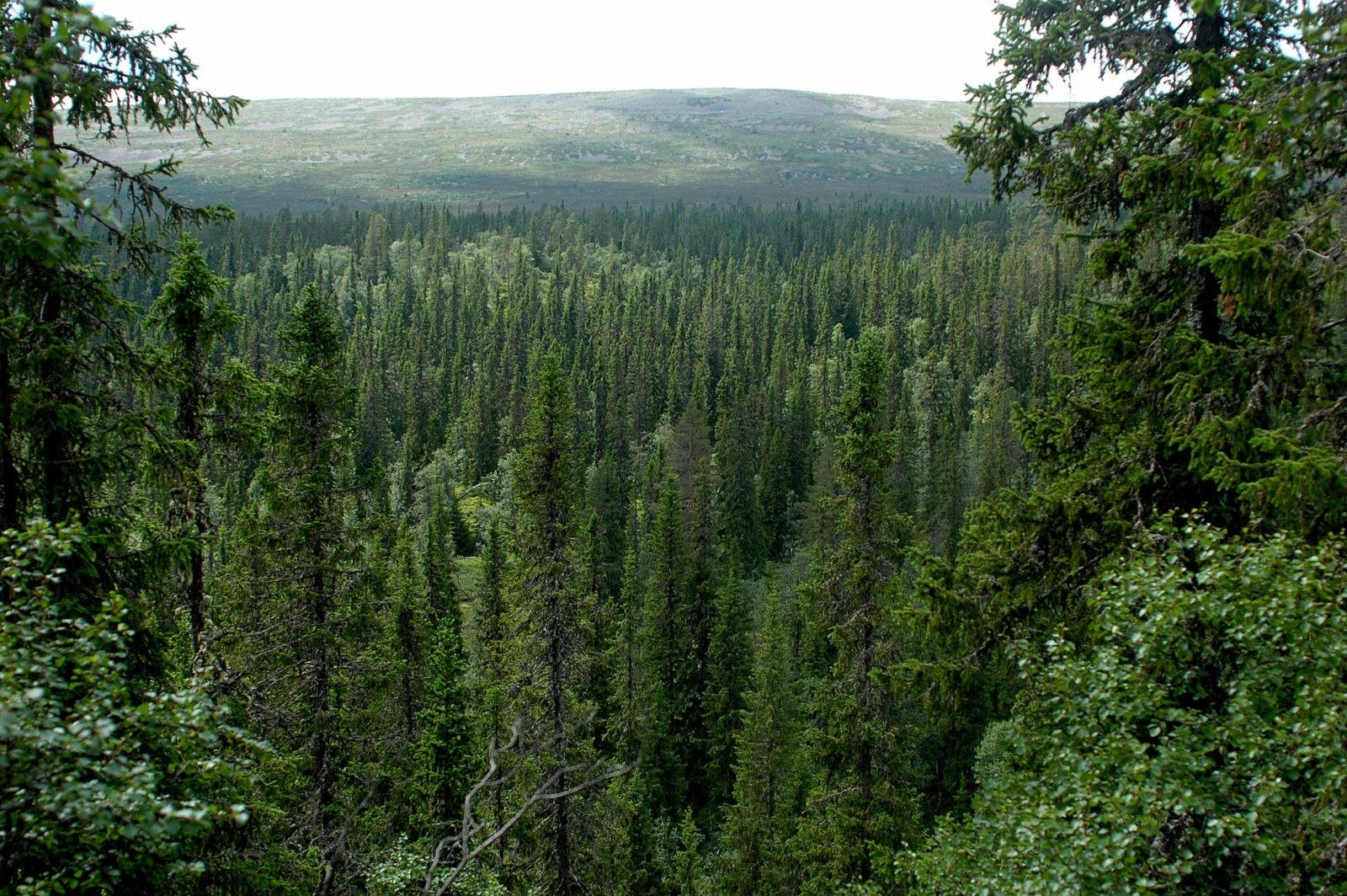 таёжный лес фото 48