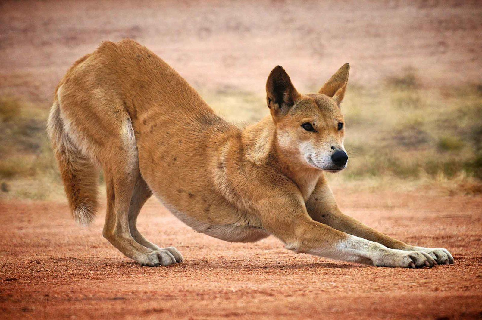 собака динго фото 4