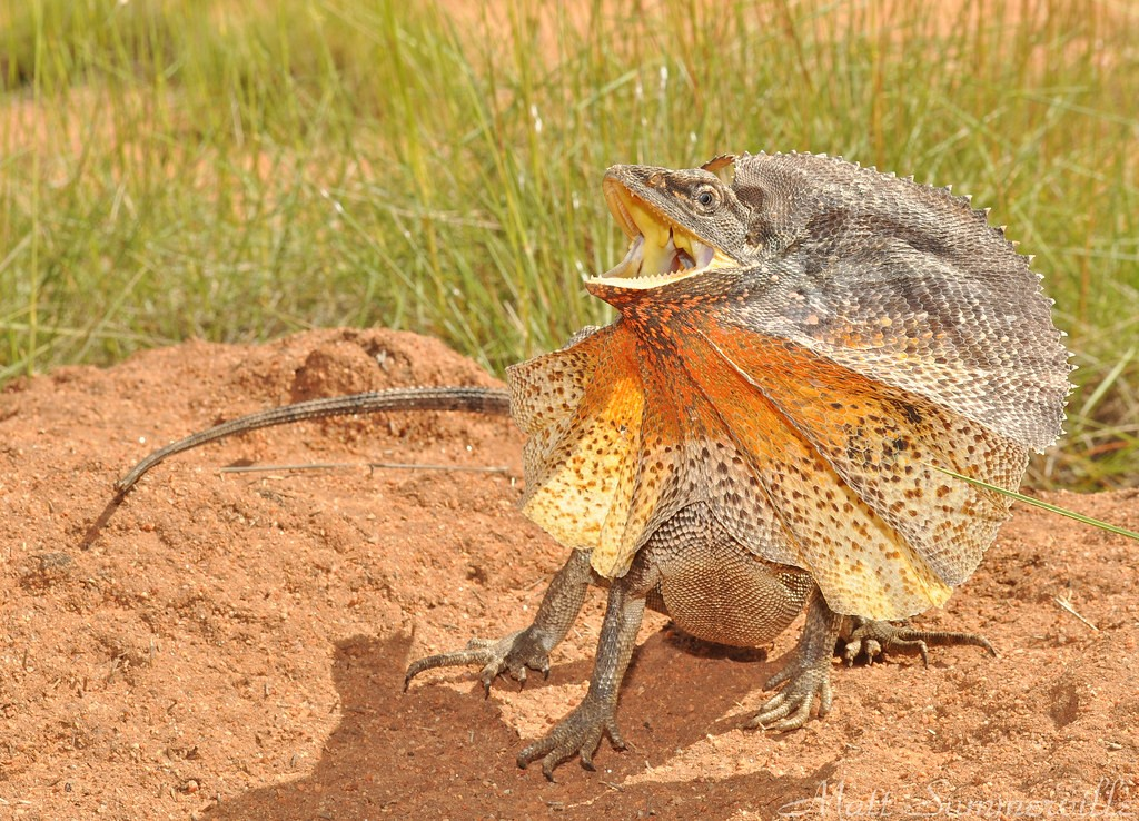 Плащеносная ящерица фото