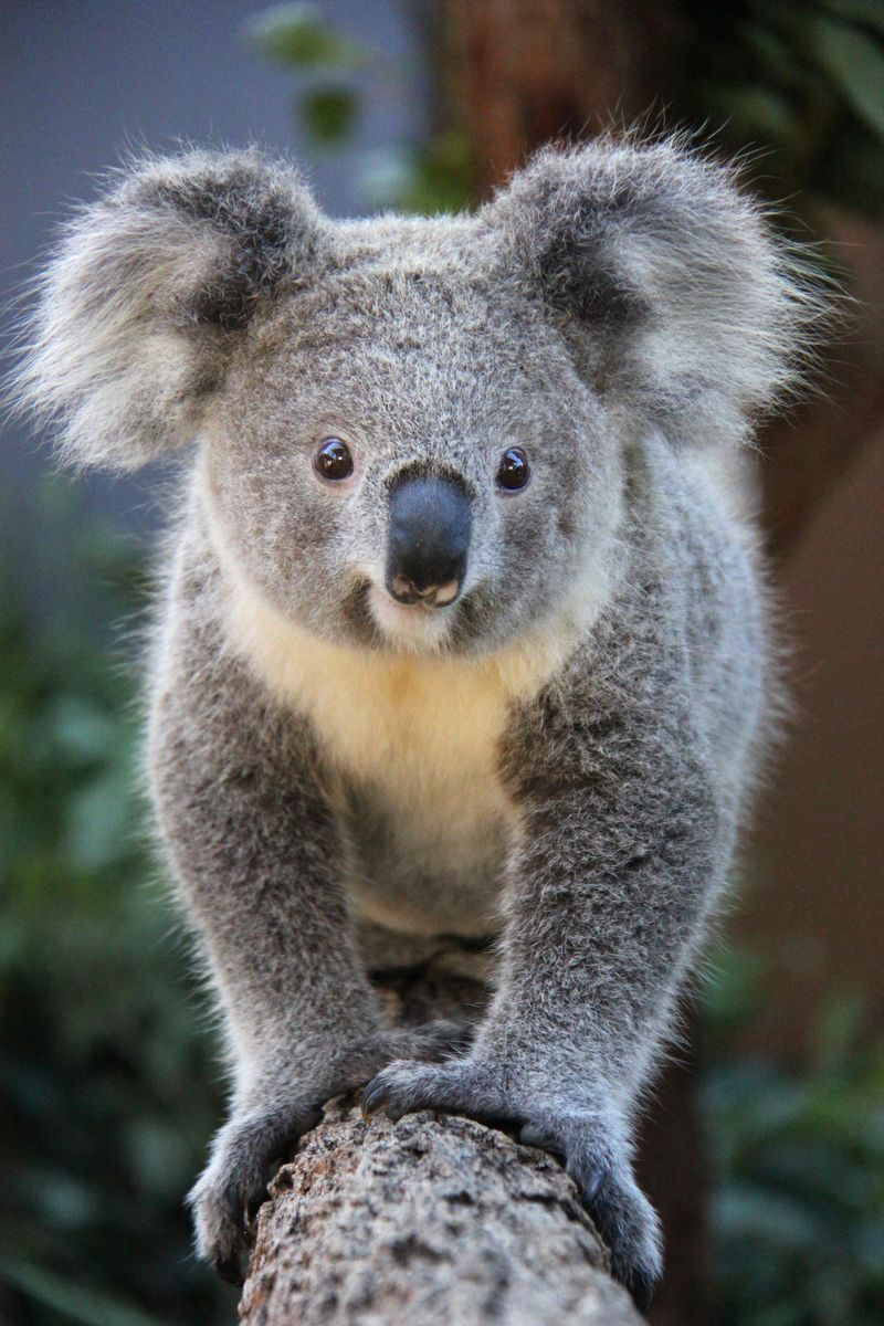 коала фото 218