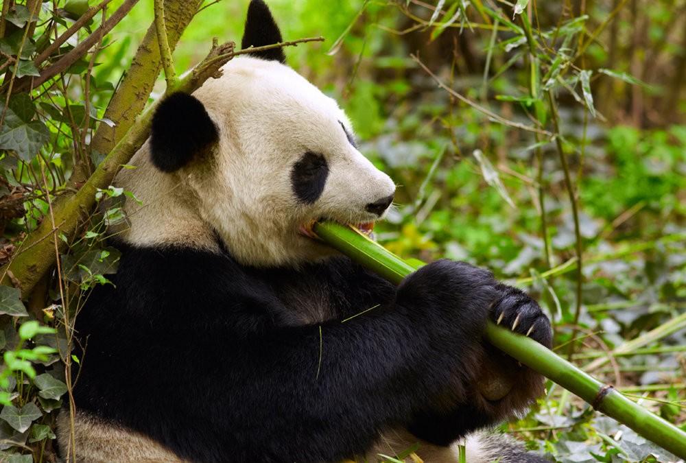 панда фото 100