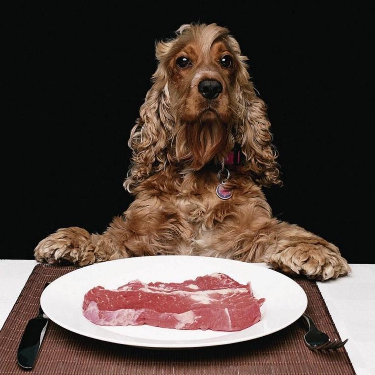 спаниель мясо ест