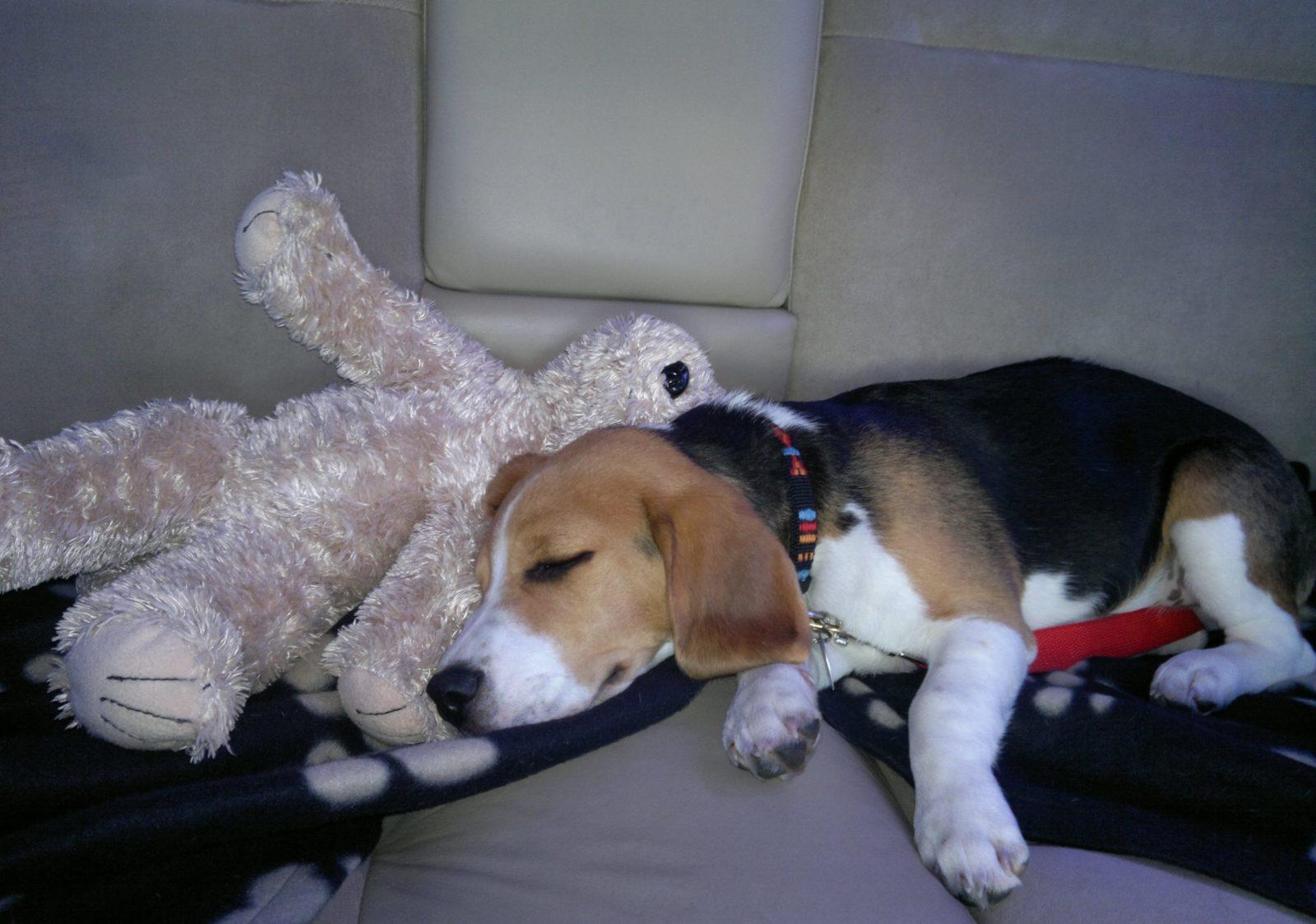 Бигль спит