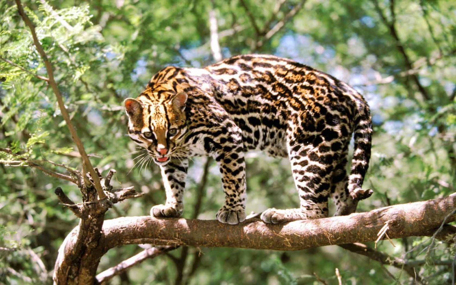 леопард оцелот фото