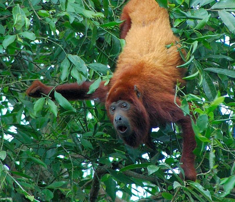 обезьяна ревун фото