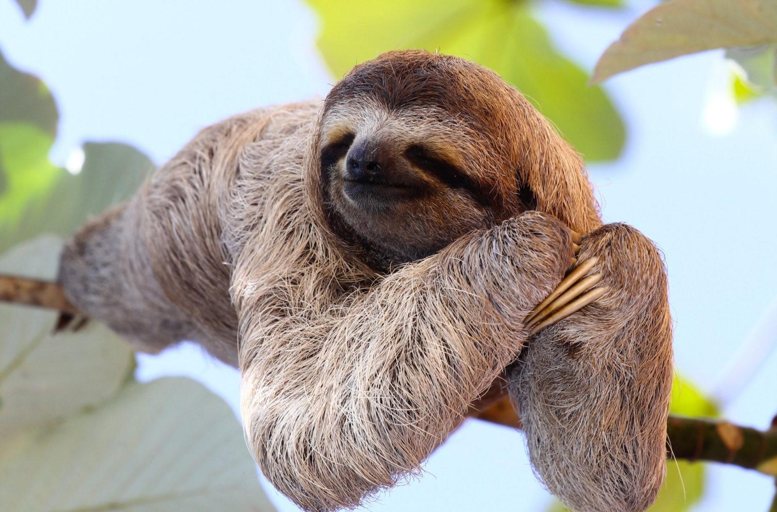 Трёхпалый ленивец фото